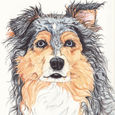 Blue_Merle_Large