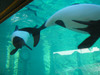 Commersons_dolphins