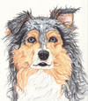 Blue_merle_medium